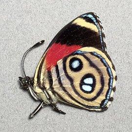 Nymphalidae Callicore hystaspes f. hystaspes M A1 Peru