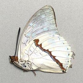 Nymphalidae Charaxes hadrianus M A1 RCA
