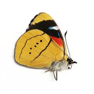Nymphalidae Perisama alicia alicia f. lucrezioides M A1 Peru