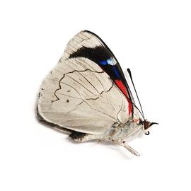 Nymphalidae Perisama jurinei klugi M A1 Peru