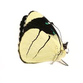 Nymphalidae Perisama oppeli viridinota M A1 Peru