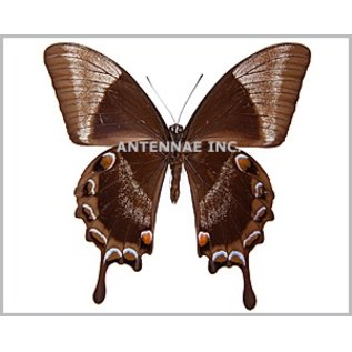 Papilionidae Papilio ulysses ulysses M A1 Indonesia