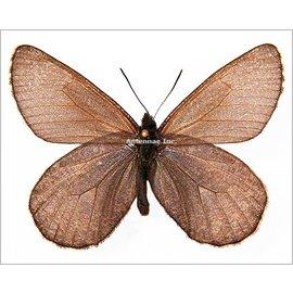 Satyridae Oeneis melissa beanii M A1 Canada