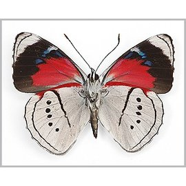 Nymphalidae Perisama vaninka M A1 Peru