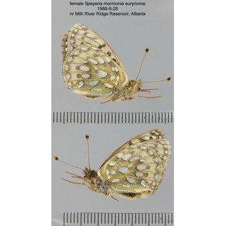 Nymphalidae Speyeria mormonia eurynome PAIR A1- Canada