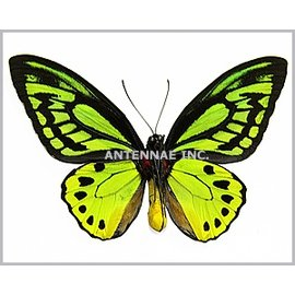 Ornithoptera and Trogonoptera Ornithoptera priamus poseidon PAIR A1 Indonesia
