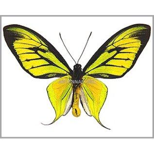 Ornithoptera and Trogonoptera Ornithoptera paradisea arfakensis M A1/A1- Indonesia