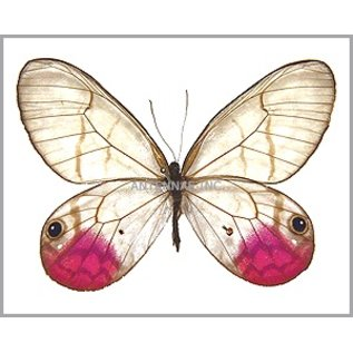 Satyridae Cithaerias aurorina M A1 Peru
