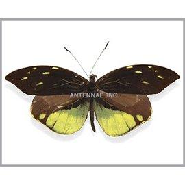 Pieridae Dismorphia nemesis M A1 Bolivia