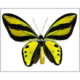 Ornithoptera and Trogonoptera Ornithoptera tithonus tithonus PAIR A1 Indonesia