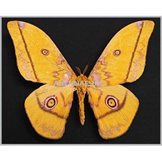 Saturnidae Nudaurelia dione M A1 Cameroon