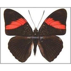 Nymphalidae Adelpha lara lara M A1 Peru