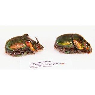 Scarabidae Phanaeus igneus PAIR A1 USA 1.3-1.5 cm