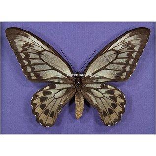 Ornithoptera and Trogonoptera Ornithoptera croesus lydius F A1 Indonesia
