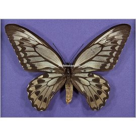 Ornithoptera and Trogonoptera Ornithoptera croesus lydius PAIR A1 Indonesia