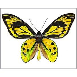 Ornithoptera and Trogonoptera Ornithoptera tithonus misresiana PAIR A1 Indonesia