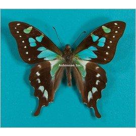 Papilionidae Graphium stresemanni M A1 Indonesia