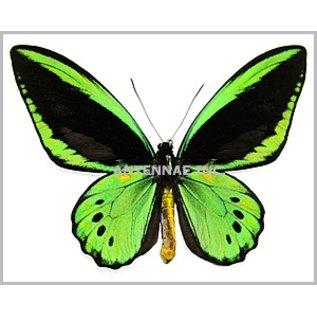 Ornithoptera and Trogonoptera Ornithoptera priamus priamus M A1 Indonesia