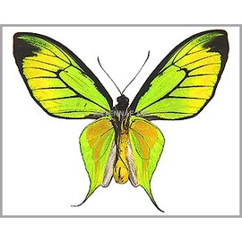 Ornithoptera and Trogonoptera Ornithoptera paradisea flavescens (local form of O. p. detanii) M A1 Indonesia