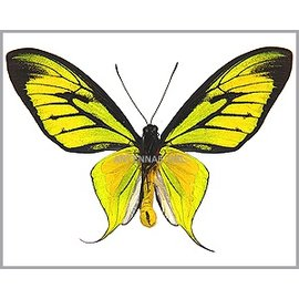 Ornithoptera and Trogonoptera Ornithoptera paradisea arfakensis PAIR A1 Indonesia EXTRA LARGE >7.8cm