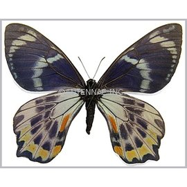 Papilionidae Papilio toboroi F A1/A1- Solomon Islands
