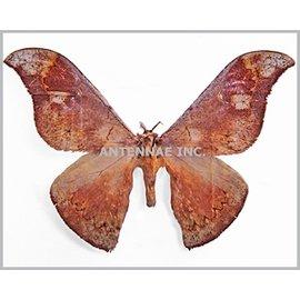 Saturnidae Goodia nubilata M A1 Cameroon