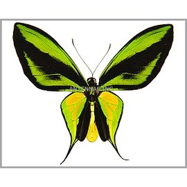 Ornithoptera and Trogonoptera Ornithoptera paradisea flavescens (local form of O. p. detanii) PAIR A1 Indonesia