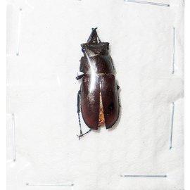 Lucanidae Prismognathus dauricus coreanus M A1 South Korea 2.0 cm