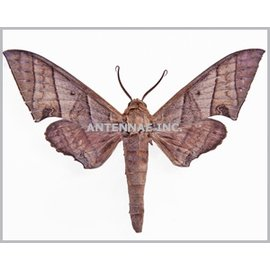 Sphingidae Polyptychus orthographus M A1 Cameroon