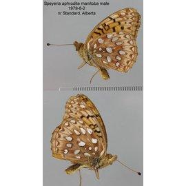 Nymphalidae Speyeria aphrodite manitoba F A1 Canada