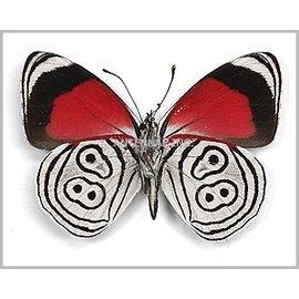 Nymphalidae Diaethria neglecta M A1 Peru