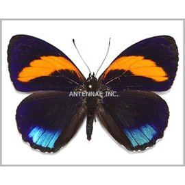 Nymphalidae Callicore pastazza M A1 Peru