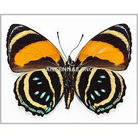 Nymphalidae Callicore aegina M A1 Bolivia