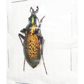 Carabidae Damaster smaragdinus odaegenesis M A1 South Korea