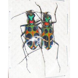 Cicindelidae Cicindela okinawana PAIR A1 South Korea 1.6-1.9 cm
