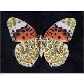 Nymphalidae Argyreus hyperbius inconstans PAIR A1 PNG