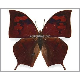 Nymphalidae Fountainea (Anaea) titan peralta M A1 Peru