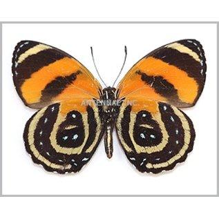 Butterflies Callicore cynosura - 5M - A1 Peru