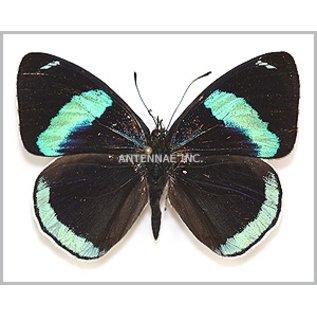 Butterflies Diaethria clymena / D. euclides/ D. neglecta / D. eluina Mix - 5M - A1 Peru