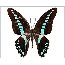Butterflies Graphium milon / G. sarpedon anthedon / G. euryplus euryplus MIX - 25M - A1 Indonesia