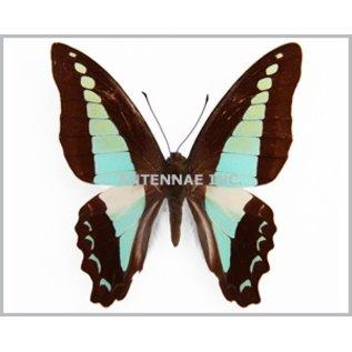 Butterflies Graphium milon / G. sarpedon anthedon / G. euryplus euryplus MIX - 25M - A1 Indonesia