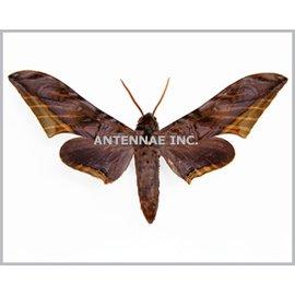 Sphingidae Acanthosphinx guesfeldtii M A1 Cameroon