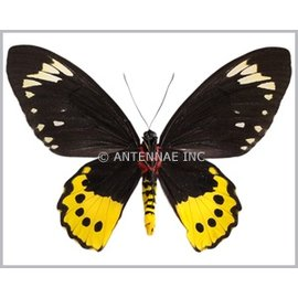 Ornithoptera and Trogonoptera Ornithoptera paradisea chrysanthemum PAIR A1 Indonesia