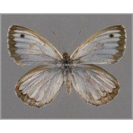 Nymphalidae Argyrophorus argenteus F A1 Argentina