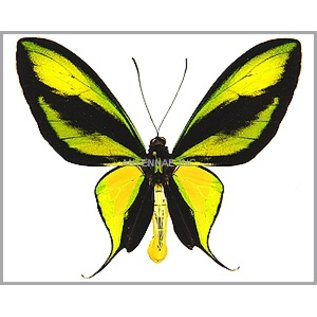 Ornithoptera and Trogonoptera Ornithoptera paradisea occidentalis M A1 Indonesia