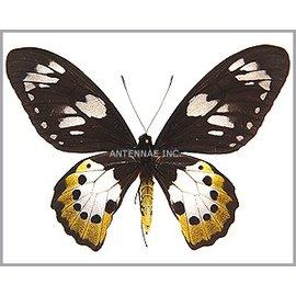 Ornithoptera and Trogonoptera Ornithoptera paradisea arfakensis F A1 Indonesia