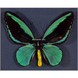 Ornithoptera and Trogonoptera Ornithoptera aesacus M A1 Indonesia