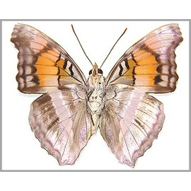 Nymphalidae Doxocopa giseldis M A1 Peru