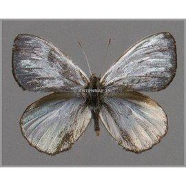 Nymphalidae Argyrophorus argenteus M A1 Argentina