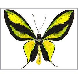 Ornithoptera and Trogonoptera Ornithoptera paradisea occidentalis PAIR A1 Indonesia